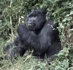 Gorilla treking in Rwanda