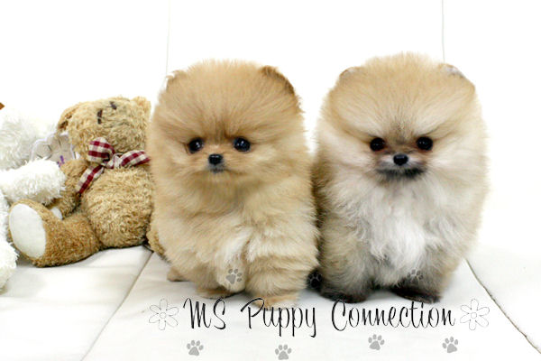 Ms Puppy Connection Directoryac